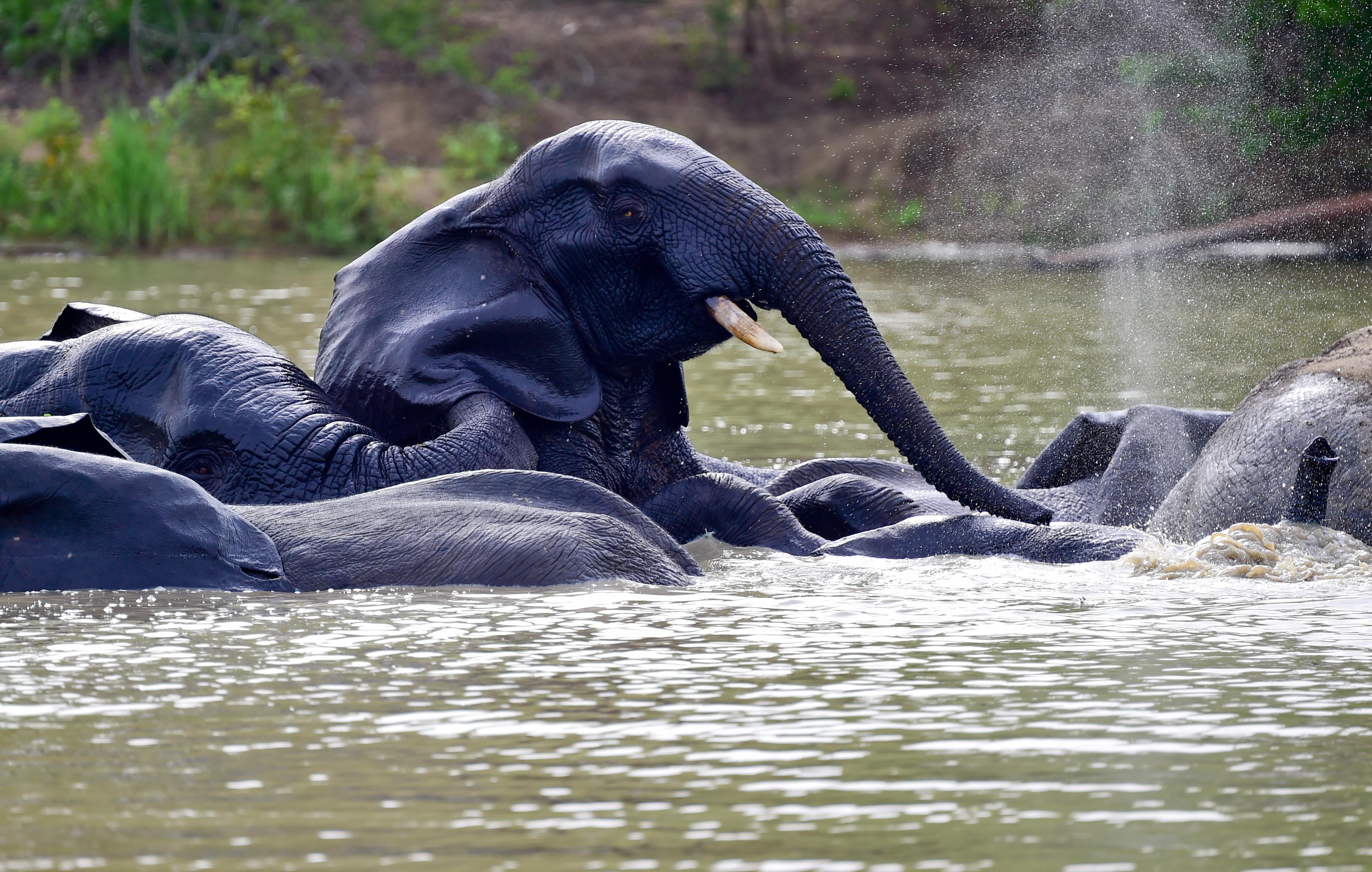 African elephants at the waterhole in Mole National Park in Ghana